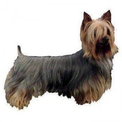 Klistermærke, Silke Terrier